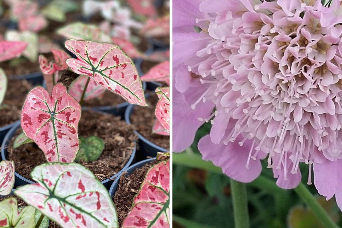 piante rosa